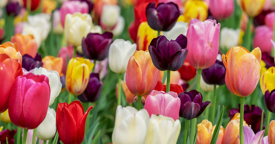 Albany Tulip Festival 2020.Why You Need To Go To The Albany Tulip Festival Goldstein